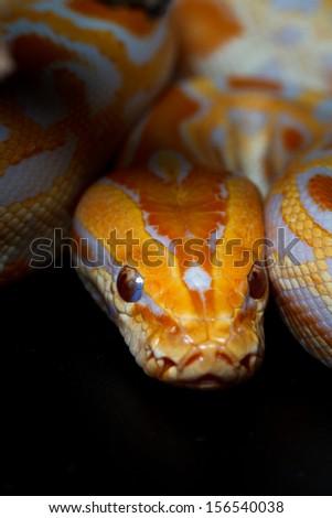 Golden Thai Python on Dark Background - stock photo