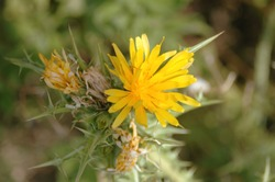 Golden thistle (Scolymus hispanicus) flora of Island Rab in Croatia, in the Adriatic Sea, yellow flower with thorns. In Spain eaten in stews,   soups, and with scrambled eggs, during spring time.