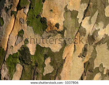 Golden-toned sycamore bark. - stock photo