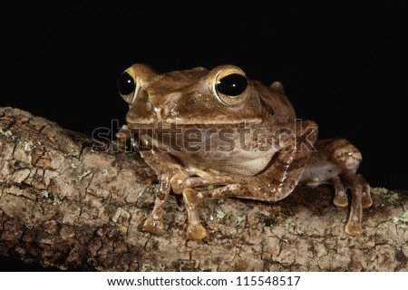 Golden Tree Frog on branch