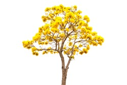 Golden Tree or Tallow Pui isolated on white background