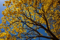 Golden tree or yellow tabebuia. Other names are Sirindhorn yellow, Pridiyathorn and