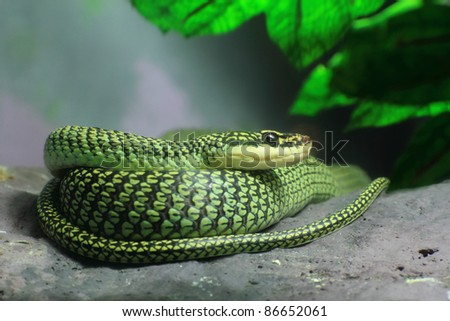 Golden Tree Snake (Chrysopelea ornata) to curl oneself up on the rock