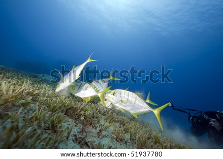golden trevally and an underwater photographer in the Red Sea.
