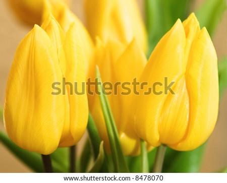 golden tulips - stock photo