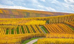 Golden vineyards of Alsace in late fall, France