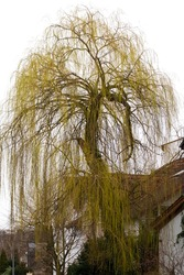 Golden weeping willow tree blooming in late winter in front of a house in Mainz, Germany.