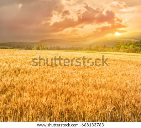 Golden wheat and potato field in summer season,hokkaido in Japan #668133763