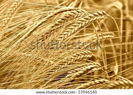 Golden wheat close-up background 2. Sepia version