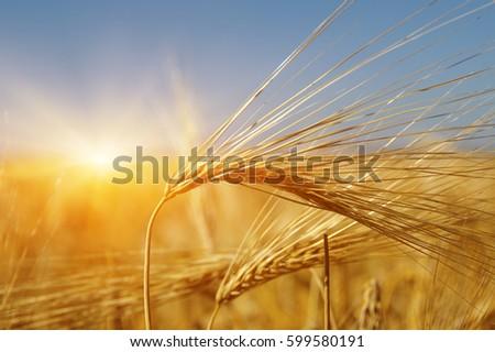 Golden wheat close up on sun. Rural scene under sunlight. Summer background. Growth harvest. - Shutterstock ID 599580191