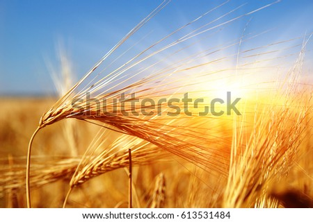 Golden wheat close up on sun. Rural scene under sunlight. Summer background. Growth harvest. - Shutterstock ID 613531484