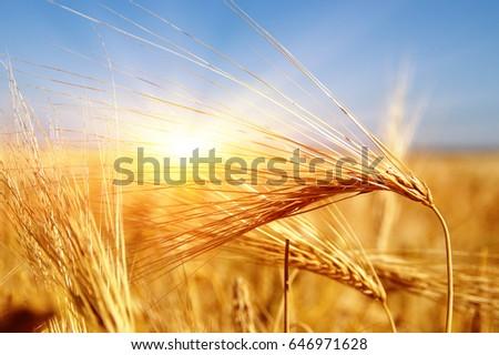 Golden wheat close up on sun. Rural scene under sunlight. Summer background. Growth harvest. - Shutterstock ID 646971628