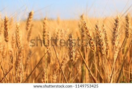 golden Wheat closeup #1149753425