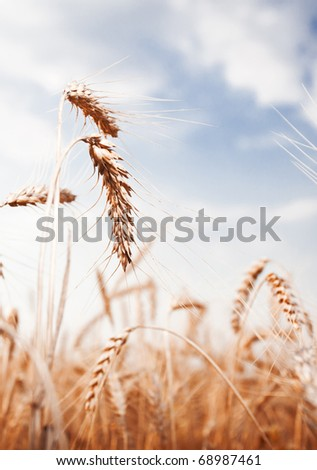 golden wheat ear on a blue sky - stock photo