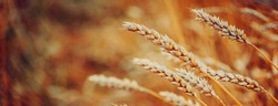 Golden wheat ears or rye close-up. A fresh crop of rye. The idea of a rich harvest concept. Rural landscape under shining sunlight. Soft lighting effects. vintage effect