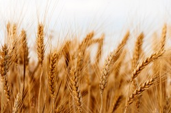 Golden wheat field.