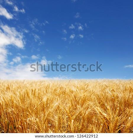 Golden wheat field against deep blue sky stock photo