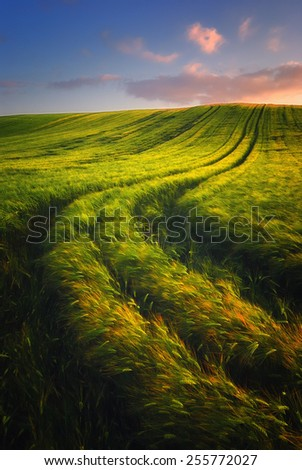Golden wheat field and purple cloudy sky #255772027