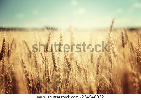 golden wheat field and sunny day - Shutterstock ID 234548032