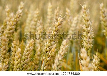Golden wheat field and sunny day . Ears of golden wheat close up. Background of ripening ears of meadow wheat field. Rural nature scenery background of ripening ears of meadow wheat.