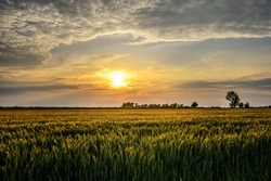 Golden wheat field and sunset sky, landscape of agricultural grain, panoramic view Poland