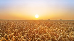 Golden wheat field at sunset; a harvest scenery in the countryside