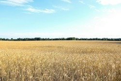 Golden wheat field, forest strip and clear blue sky on a sunny day. Landscape