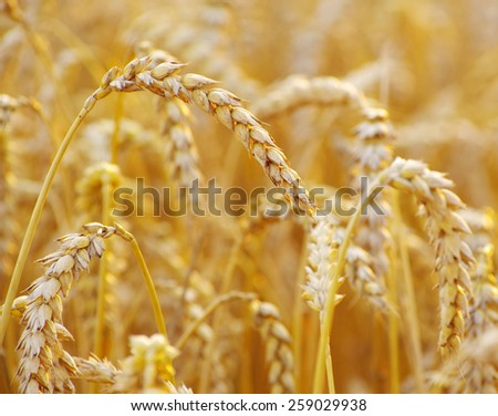 golden wheat field in summer #259029938