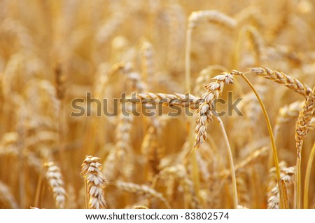 golden wheat field in summer #83802574
