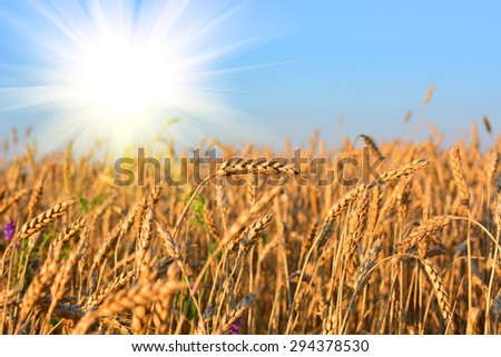 Golden wheat field in sunny day, agricultural industry #294378530