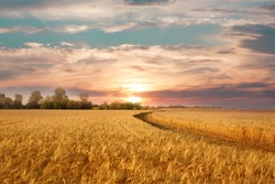 Golden wheat field on the background of hot summer sun and blue sky with white clouds.Ground road leaving to the horizon. Beautiful summer landscape.