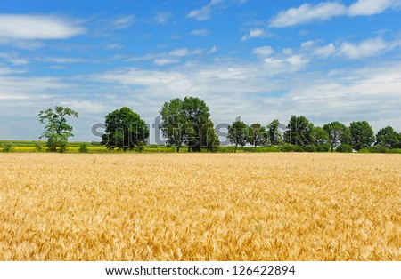 Golden wheat field over old green trees