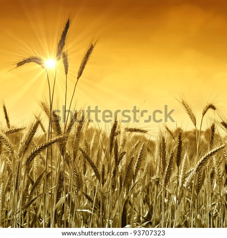 Golden wheat field ready for harvest under a sunny sky.