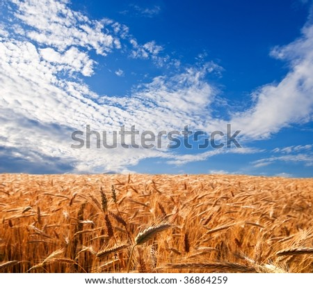 golden wheat field under a blue sky #36864259