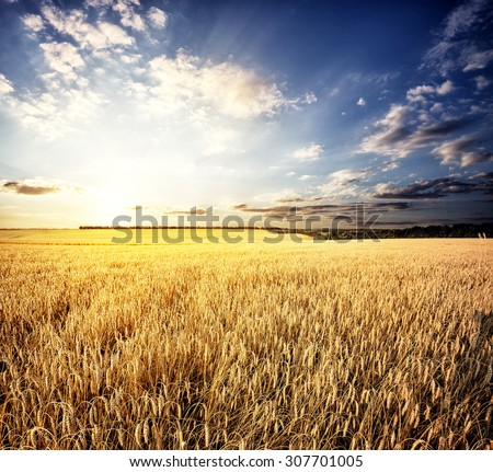 Golden wheat field under a setting sun #307701005
