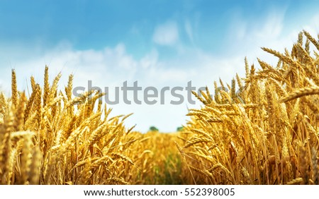 Golden wheat field under blue sky #552398005