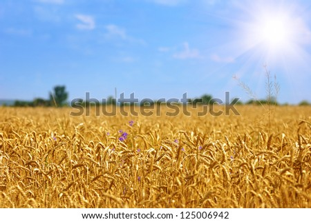 Golden wheat field under sunny blue sky