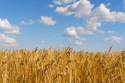 golden wheat field. Wheat ears against the sky. selective focus. Russian landscape. Russian field