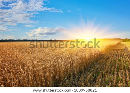 Golden wheat field with blue sky in background #1039958821