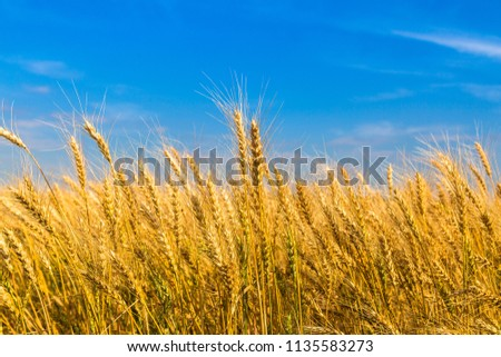 Golden wheat field with blue sky in background.  #1135583273