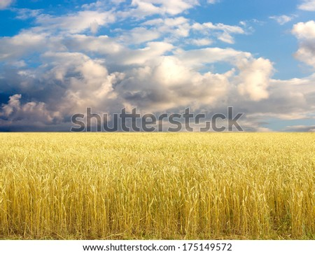 Golden wheat field with blue sky in background #175149572