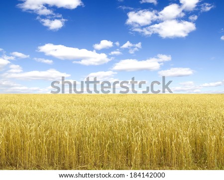 Golden wheat field with blue sky in background #184142000