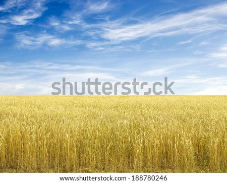Golden wheat field with blue sky in background #188780246