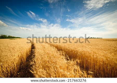 Golden wheat field with blue sky in background #217663276