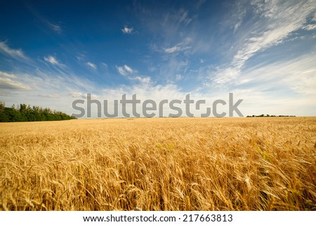 Golden wheat field with blue sky in background #217663813