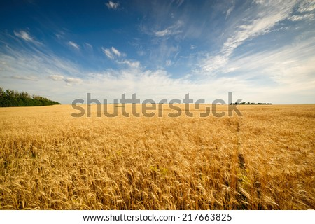 Golden wheat field with blue sky in background #217663825