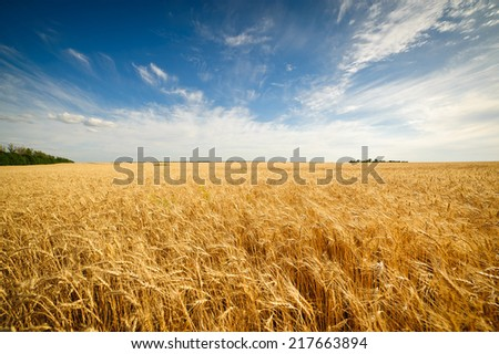 Golden wheat field with blue sky in background #217663894