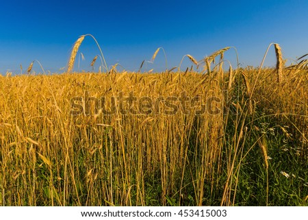 Golden wheat field with blue sky in background #453415003