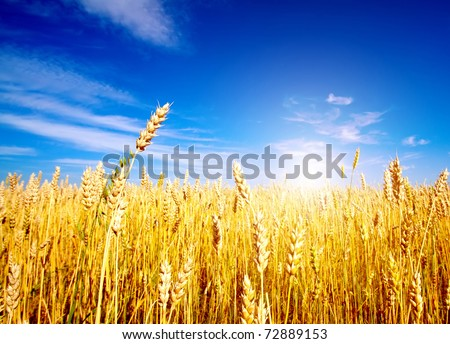 Golden wheat field with blue sky in background #72889153