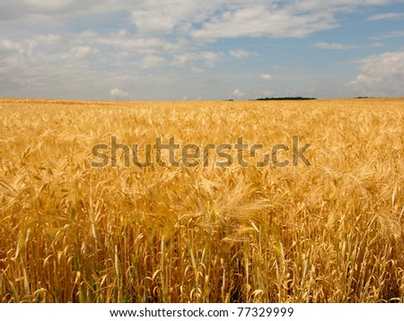 golden wheat field with cloudy blue sky